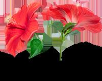 tinnitus ingredients hibiscus flower